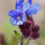 Small bugloss (Anchusa arvensis). Poljski volujak