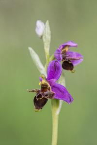 Woodcock Bee-orchid (Ophrys scolopax). Roščićasta kokica.