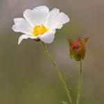 Rockrose (Cistus monspeliensis). Sajnija.