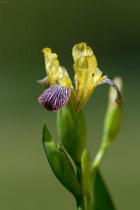 Hungarian iris (Iris variegata). Šarena perunika.