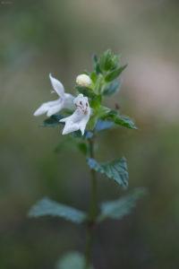 White hedge-nettle (Prasium majus). Slanovitac.