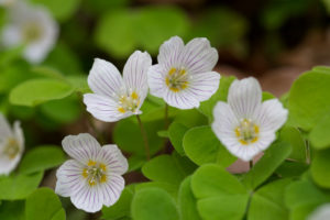 Common Wood-sorrel (Oxalis acetosella). Šumski cecelj.