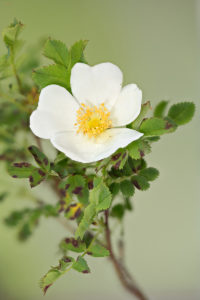 The burnet rose (Rosa pimpinellifolia). Trnovita ruža.