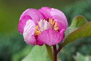 Red peony (Paeonia mascula). Velelisni božur.