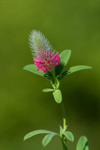 Red feather clover (Trifolium rubens). Velika crvena djetelina.