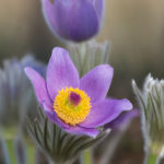 Common pasque flower (Pulsatilla grandis). Velika sasa.