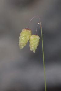 Pearl grass (Briza maxima). Velika treslica.