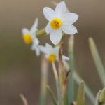 Narcissus tazetta. Višecvjetni sunovrat.