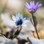 Broad-leaved anemone (Anemone hortensis). Zvjezdasta šumarica.