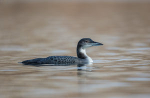 Great Northern Diver (Gavia immer). Veliki plijenor.