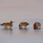 Wigeons (Anas penelope). Zviždare