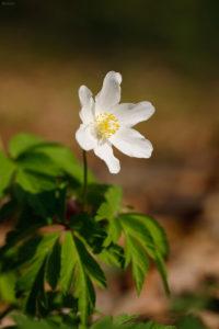 Wood anemone (anemone nemorosa). Obična šumarica.