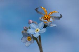 Orange ladybird (Halyzia sedecimguttata, Halyzia 16-guttata). Narančasta bubamara.