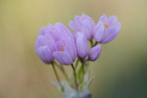 Rosy garlic (Allium roseum). Ružičasti luk.