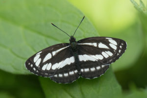 Pallas' Sailer (Neptis sappho). Zebra mala.