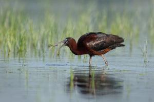 Glossy Ibis (Plegadis falcinellus) with prey. Blistavi ibis.