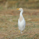Cattle Egret (Bubulcus ibis). Čaplja govedarica.