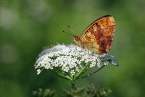 Lesser Marbled Fritillary (Brenthis ino). Končarin šarenac.