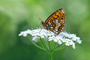 False Heath Fritillary (Melitaea diamina). Mrka riđa.