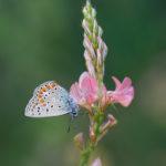 Common Blue (Polyommatus icarus), male. Obični plavac, mužjak.