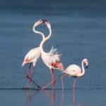 Greater Flamingo (Phoenicopterus roseus). Plamenac.