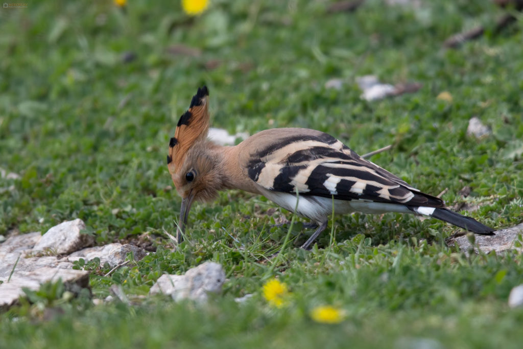Common Eurasian Hoopoe (Upupa epops) looking for the prey. Pupavac u potrazi za plijenom.