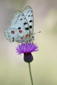 Mountain Apollo (Parnassius apollo). Apolon.