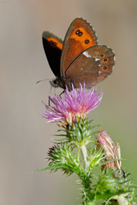 The Arran brown (Erebia ligea). Bjelokrili planinski okaš.