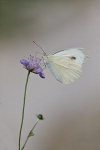 Large White (Pieris brassicae). Kupusov bijelac.