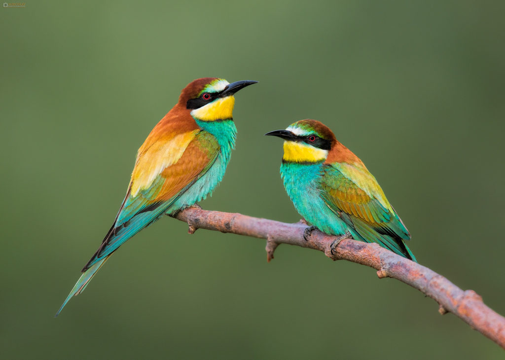 European bee-eater (Merops apiaster), a couple. Pčelarice u paru, lijevo je mužjak.