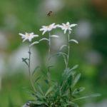 Edelweiss (Leontopodium alpinum). Runolist.