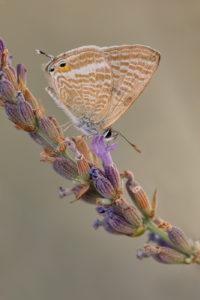 Long-tailed Blue (Lampides boeticus). Veliki tigrasti plavac.
