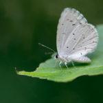 Holly Blue (Celastrina argiolus). Vrijeskov plavac.