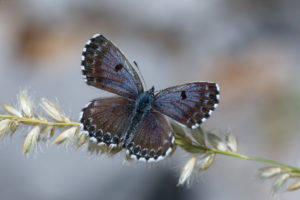 The chequered blue (Scolitantides orion). Žednjakov plavac.