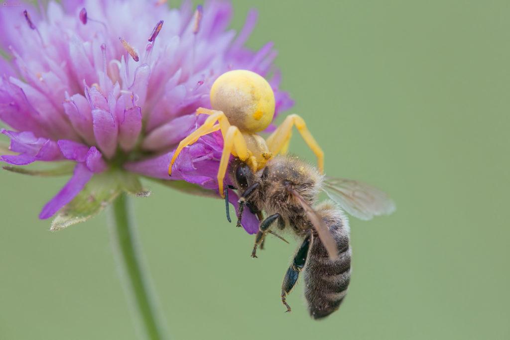 Pauk i pčela