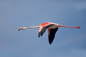 Greater Flamingo (Phoenicopterus roseus) in flight. Plamenac u letu.
