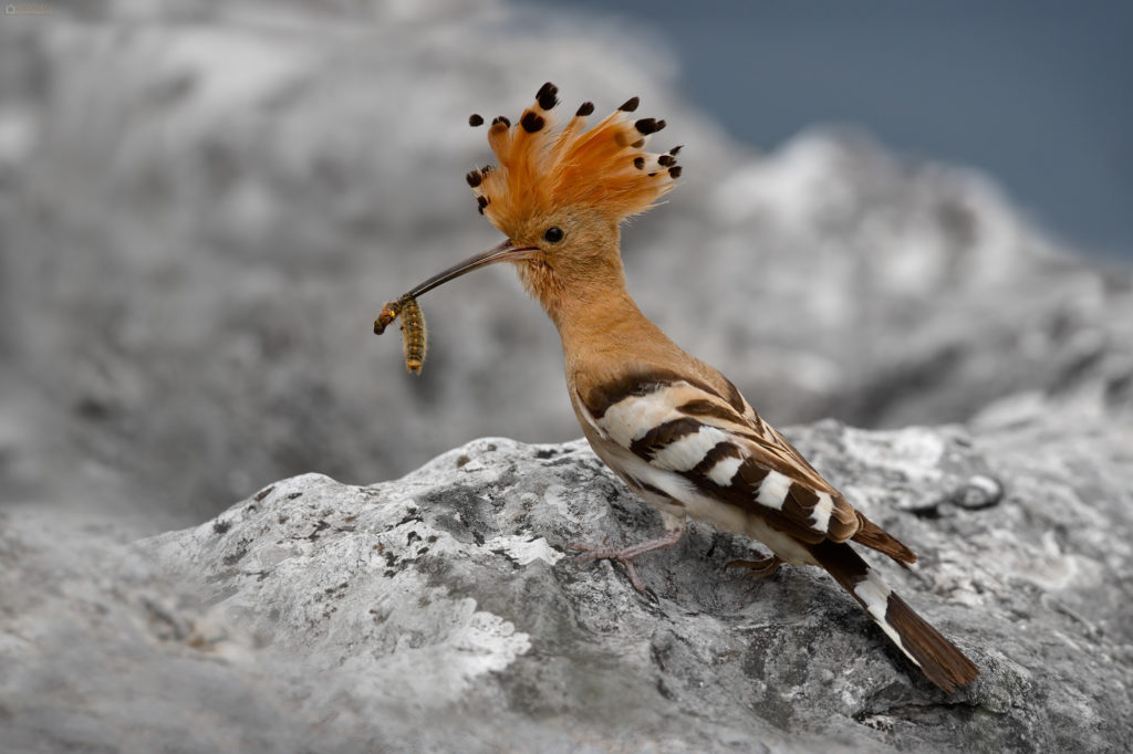 Common Eurasian Hoopoe (Upupa epops) with caterpillar. Pupavac sa gusjenicom u kljunu.