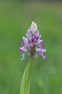 The military orchid (Orchis militaris). Kacigasti kaćun.