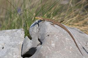 Balkan Wall Lizard (Podarcis tauricus). Balkanska zidna gušterica.
