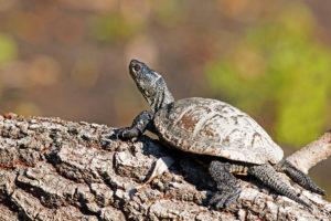 European pond turtle (Emys orbicularis). Barska kornjača.