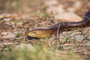 European legless lizard (Pseudopus apodus). Blavor.