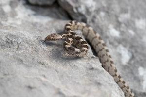 Cate snake (Telescopus fallax fallax). Crnokrpica.
