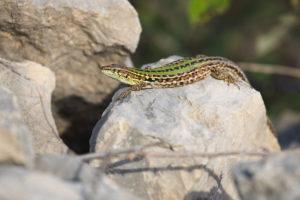 Dalmatian Wall Lizard (Podarcis melisellensis). Dalmatinski zidni gušter.