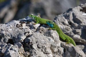 European green lizard (Lacerta viridis). Obični zelembać.