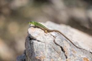 Italian Wall Lizard (Podarcis siculus). Primorska gušterica.