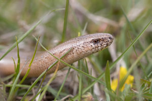 Slow worm (Anguis fragilis). Sljepić.