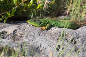 Balkan Green Lizard (Lacerta trilineata). Veliki zelembać.