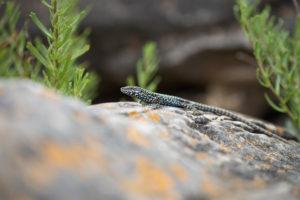 Common Wall Lizard (Podarcis muralis). Zidni gušter.
