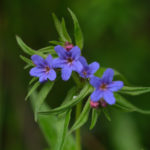 The purple gromwell (Lithospermum purpurocaeruleum). Modra biserka.