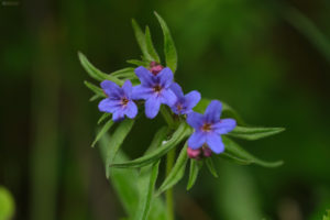 The purple gromwell (lithospermum purpurocaeruleum). Modra biserka.